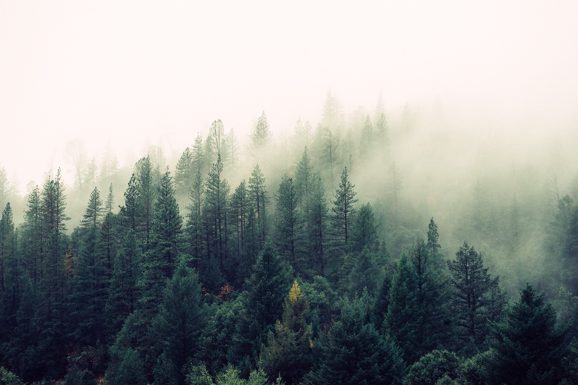 nature-forest-trees-fog (1)